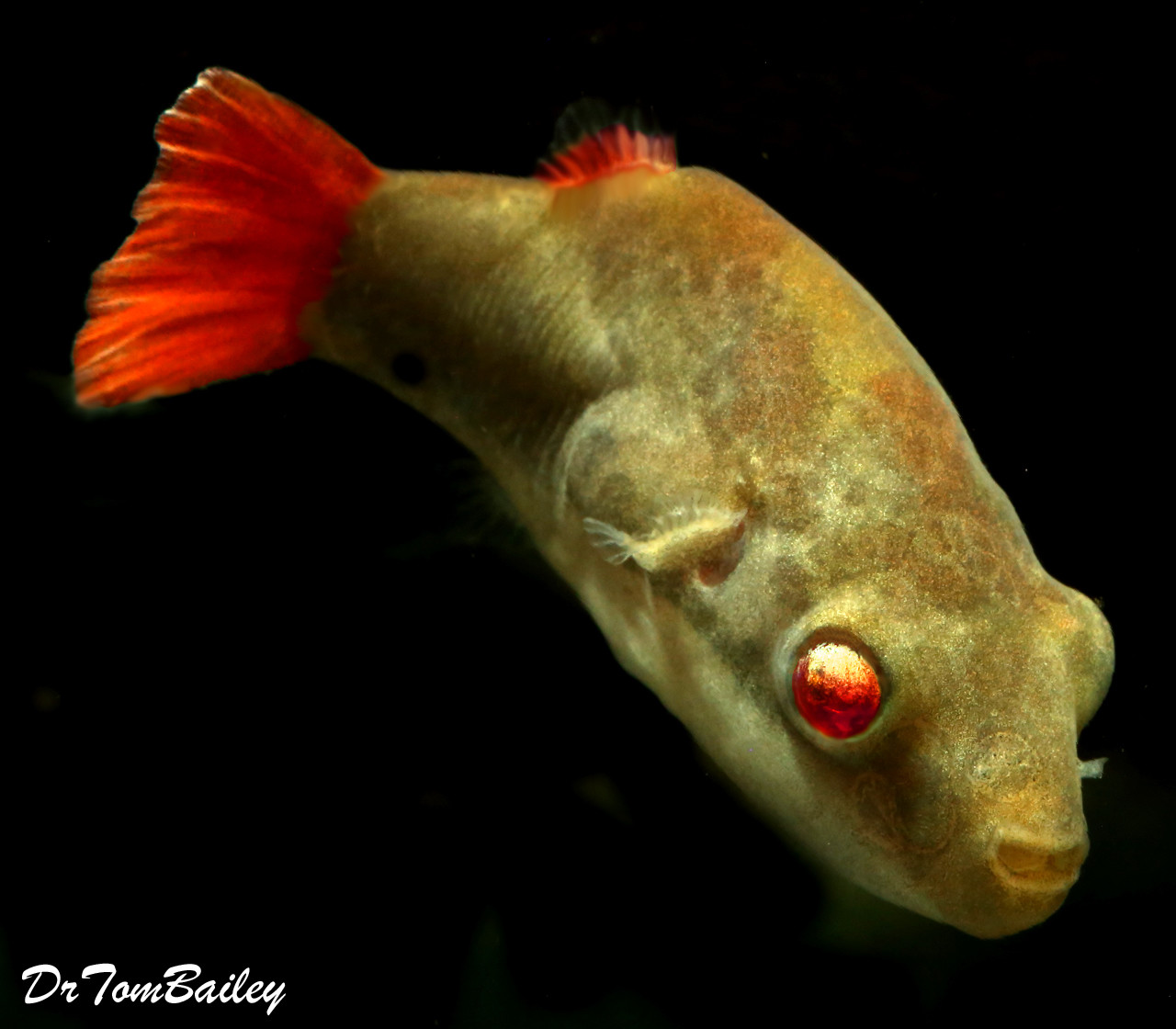 "Premium MALE Freshwater Redtail Red Eye Dwarf Pufferfish, 1"" to 1.5"" long"
