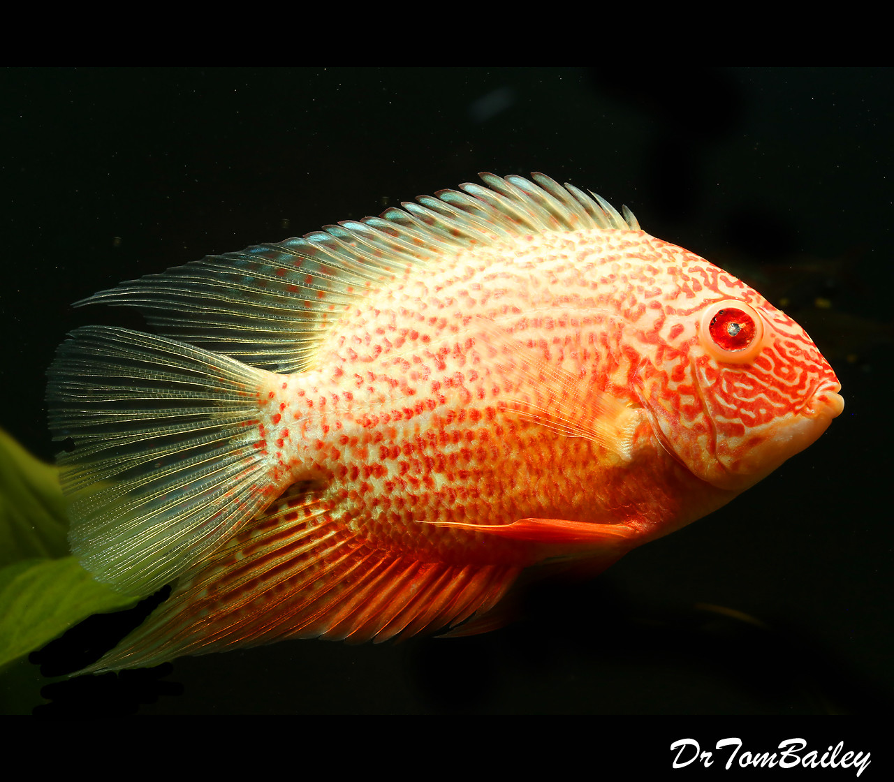 """Red Spotted Severum Cichlid, 4"""" to 4.5"""" long. With one bad eye. Two in stock"""