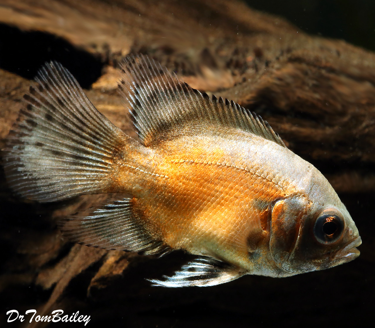 "Premium New Red Veiltail Oscar Cichlid, 2"" to 2.5"" long"