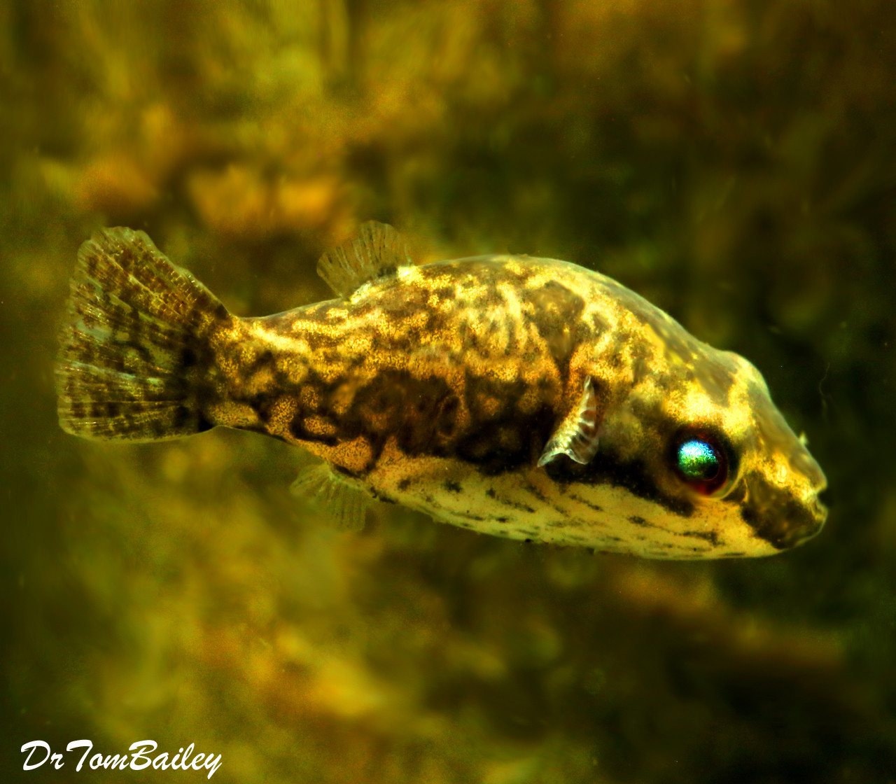 "Premium FEMALE Freshwater Redtail Red Eye Dwarf Pufferfish, 1"" to 1.2"" long"