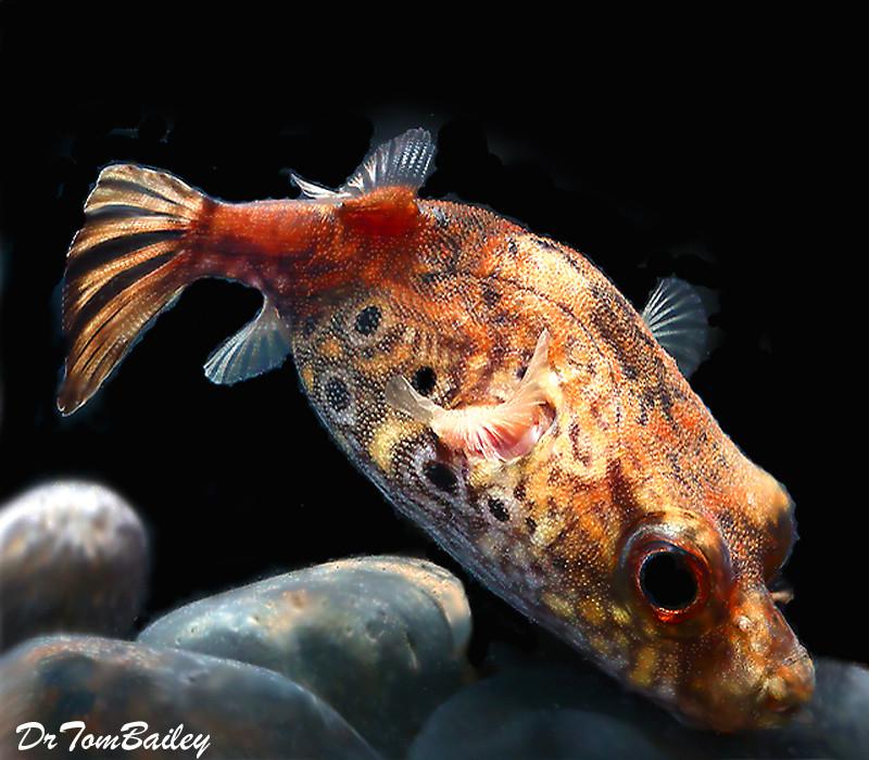 "Premium and Rare, Freshwater King Kong Pufferfish, 3"" to 3.5"" long"