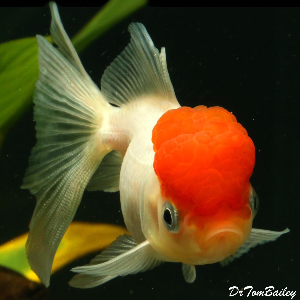 """Premium Red Cap Oranda Goldfish, 2"""" to 2.5"""" long"""