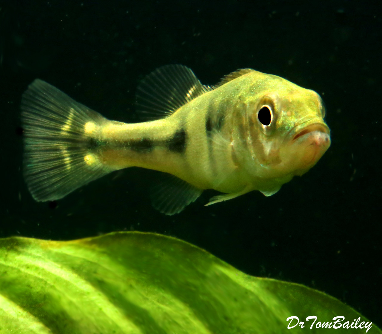 """Premium Rare Xingu Peacock Bass Cichlid, 2"""" to 2.5"""" long now, grows much bigger."""