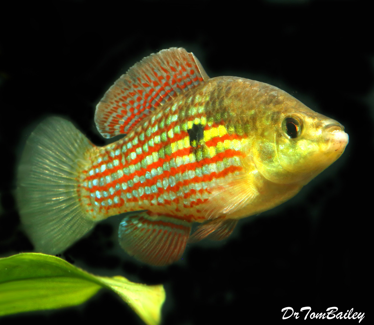 "Premium Male American Flag Fish, 2"" to 2.5"" long"
