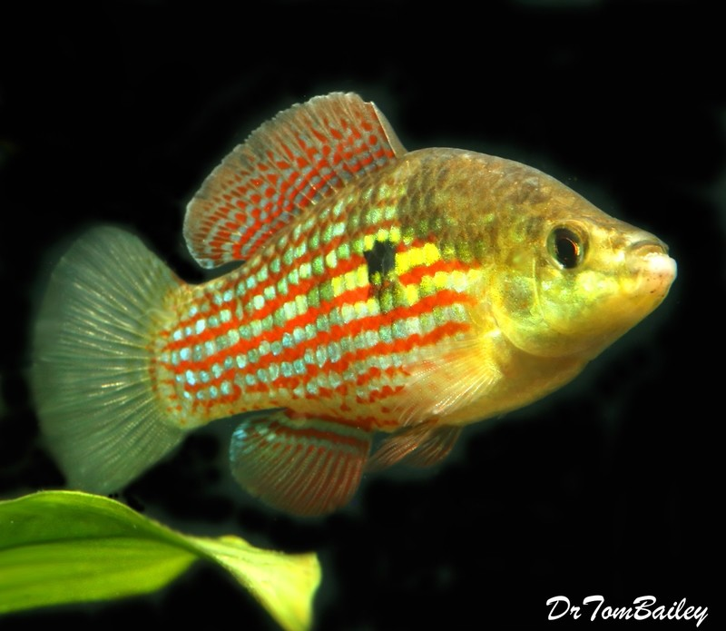 Premium MALE Flagfish in Color, 2