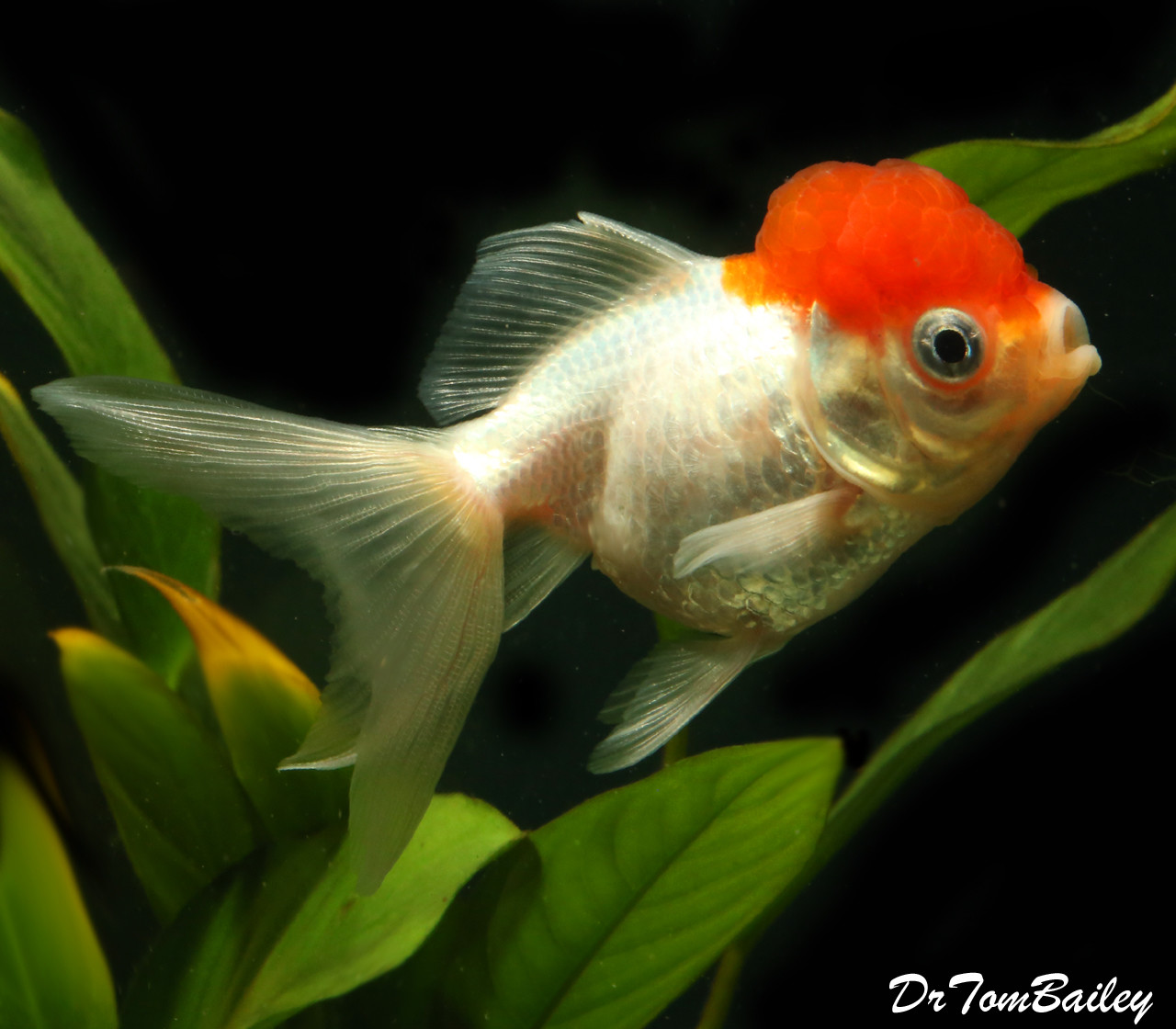 "Premium Red Cap Oranda Goldfish, 3"" to 3.5"" long"