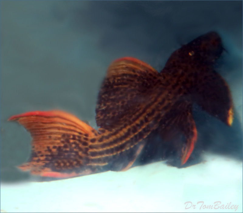 "Premium, WYSIWYG, Wild, Very Rare, Scarlet Plecostomus, L025, 12"" to 15"" long, Pefect!!, in our tank T-11, only 1 at left this price!"