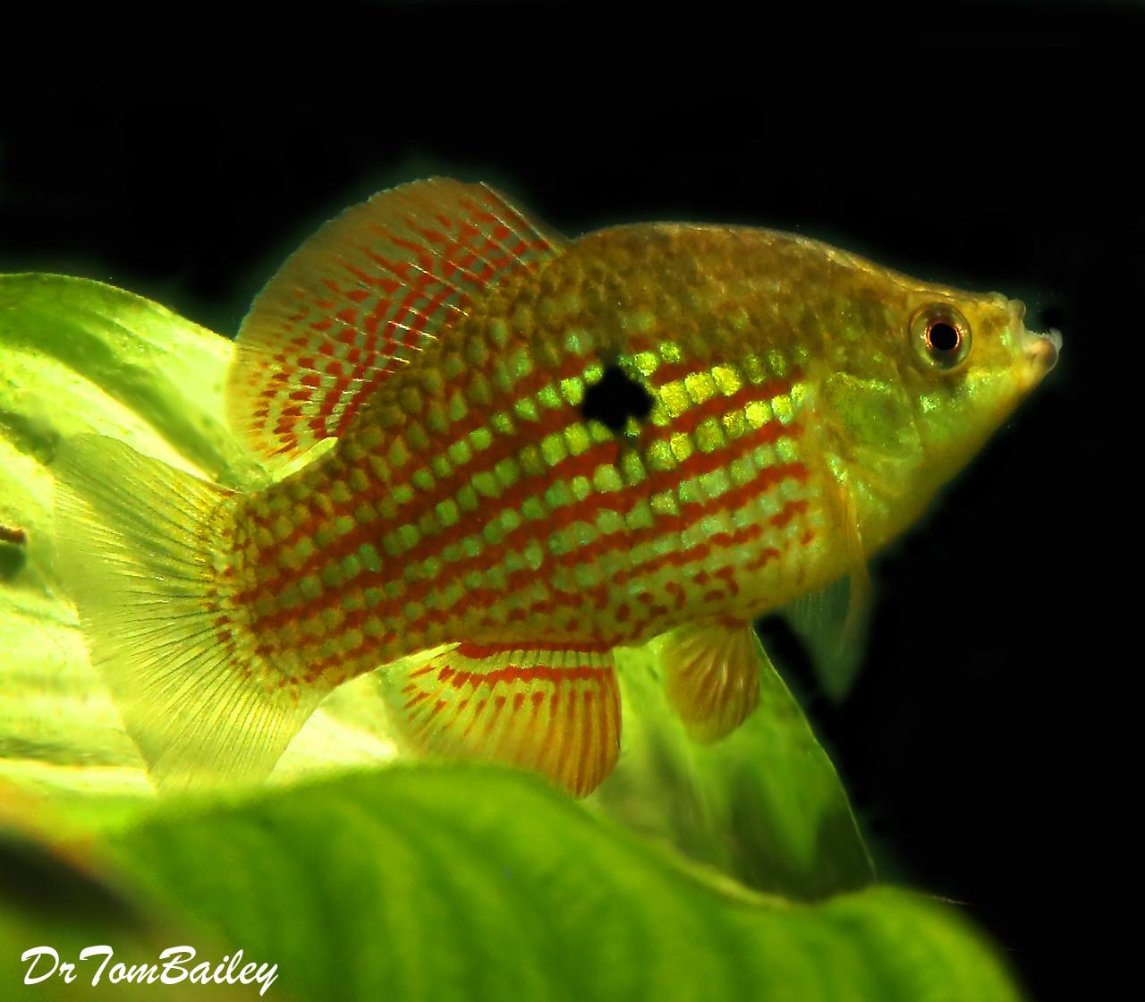 "Premium American Flag Fish, 1.5"" to 2"" long"