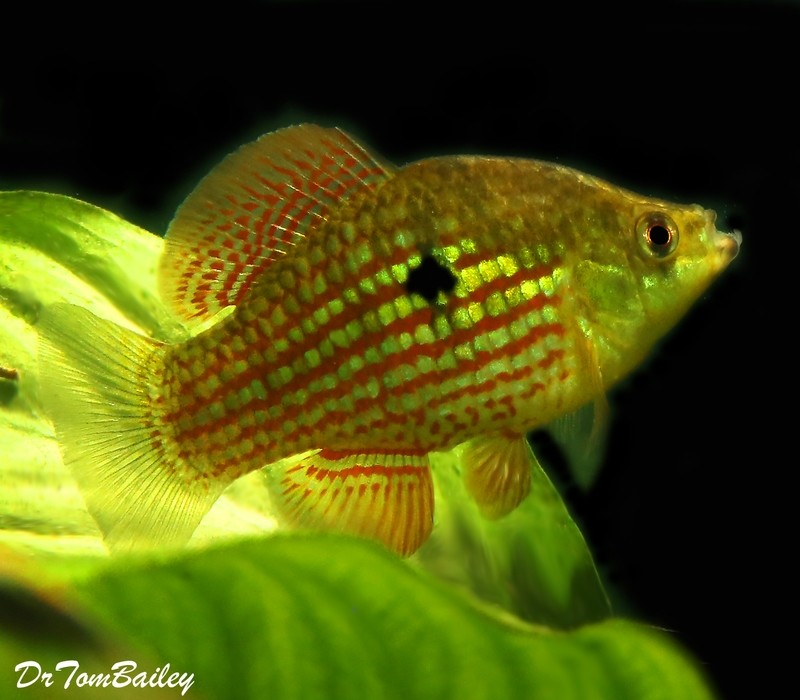Premium Flagfish, 1.5