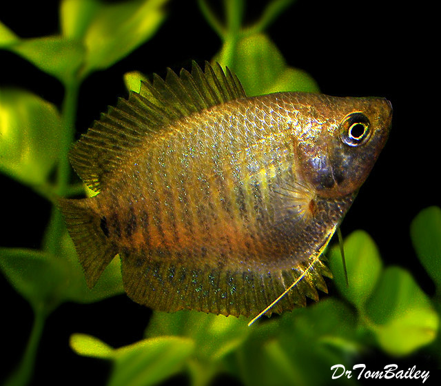 "Premium Young Female Dwarf Gourami, 1.5"" to 2"" long"