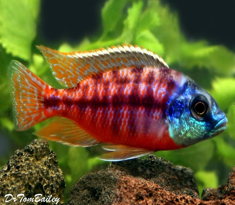 "Premium Red Empress Hap Cichlid from Lake Malawi, 3"" to 4"" long"