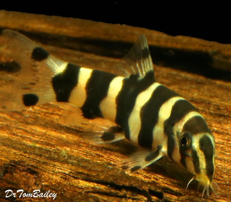 Premium Rare and New, Golden Zebra Loach, Botia histrionica, 1