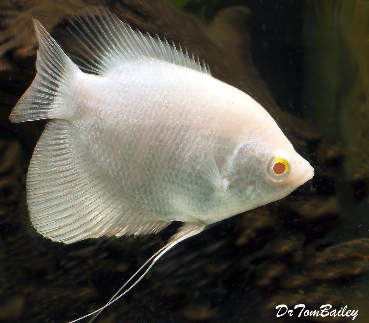 "Premium Rare, New, WYSIWYG, Albino Giant Osphronemus Goramy, 4"" to 5"" long"
