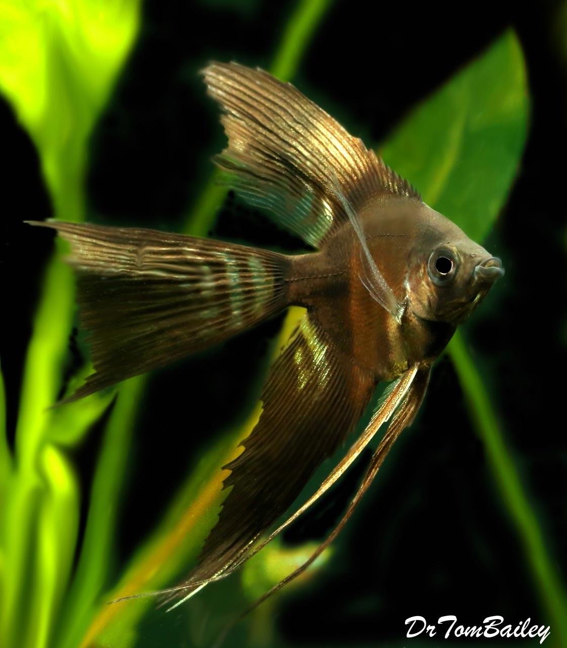 "Premium Rare, WYSIWYG, Hybrid: Black Veiltail Angelfish X Half-Black Veiltail Angelfish, 3.5"" to 4"" tall, Superb !!, in our tank G-12."
