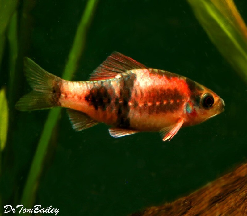 Premium New and Rare, Red Panda Barb, 1.5