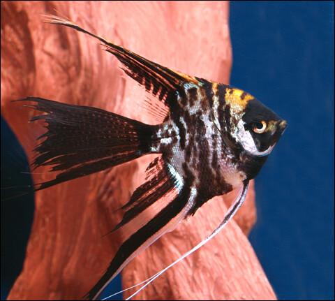 Premium Marbled Veiltail Angelfish, 1.5