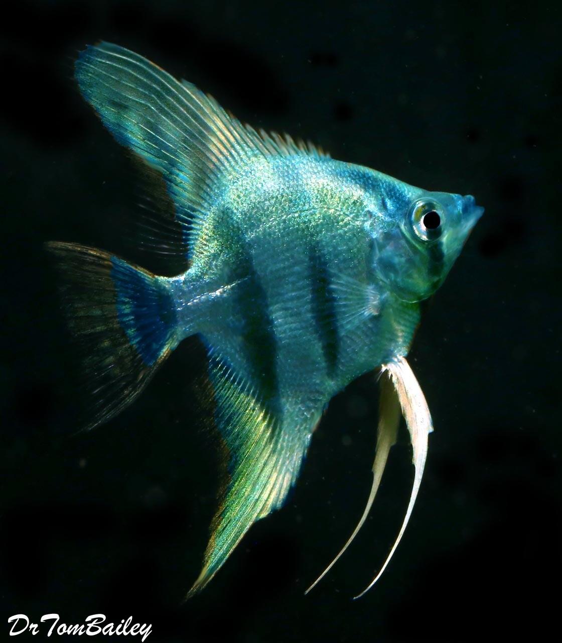 """Premium Rare Blue Cobalt Zebra Angelfish, 2 to 2.5"""" tall"""