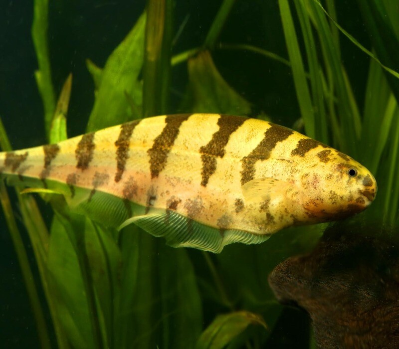 Premium Rare Wild Barred Knifefish, Steatogenys elegans, 7