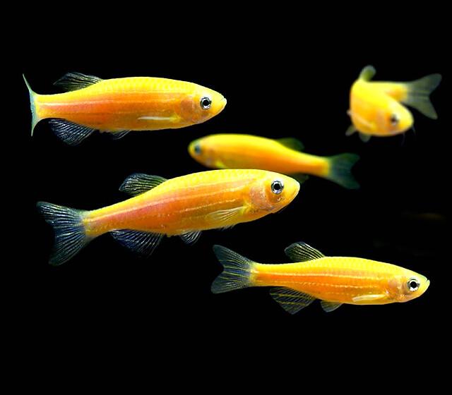 """Premium Sunburst Orange GloFish Danio, 1"""" to 1.2"""" long"""