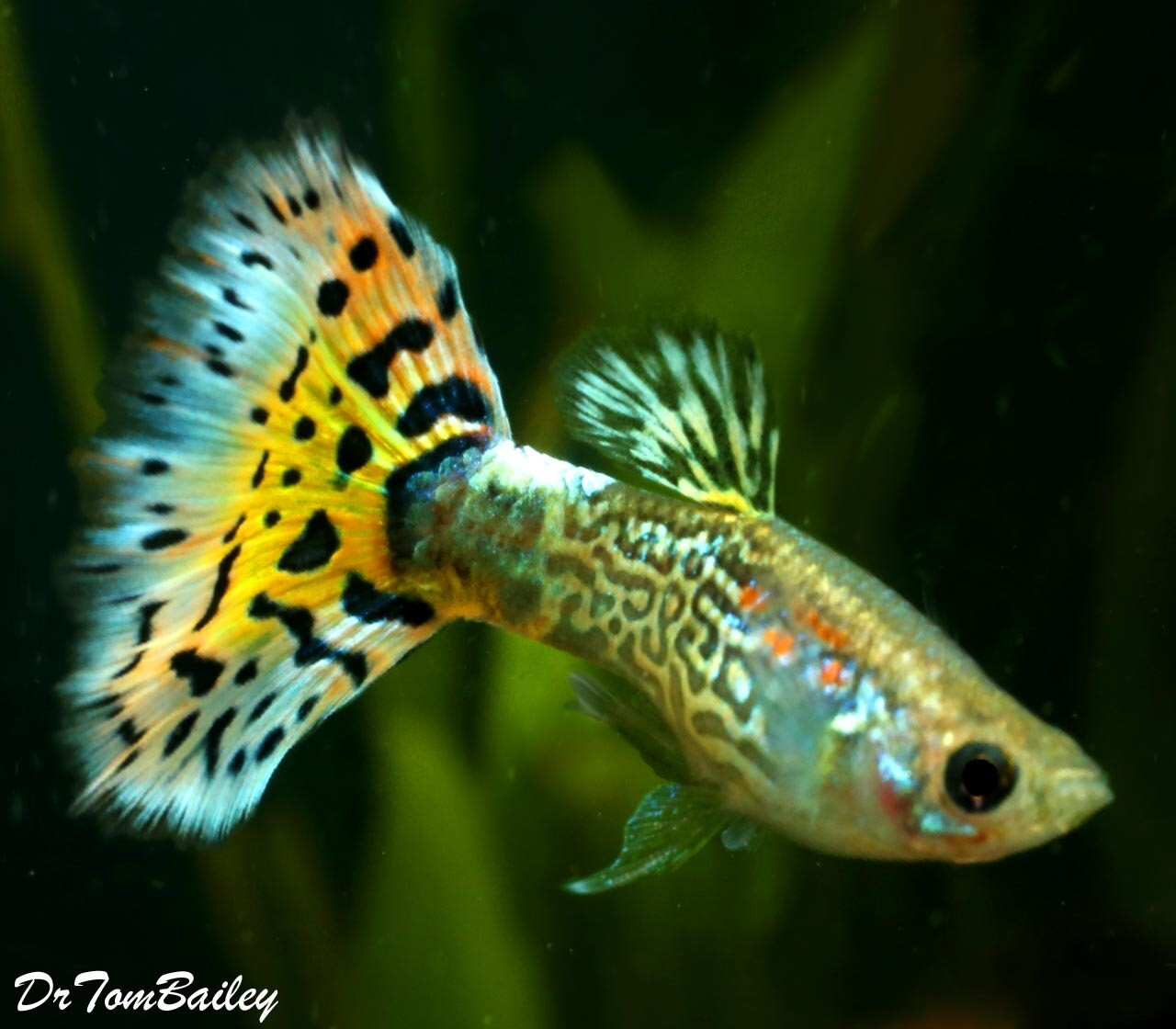 """Premium MALE Assorted Snakeskin Fancy Guppies, 1"""" to 1.5"""" long"""