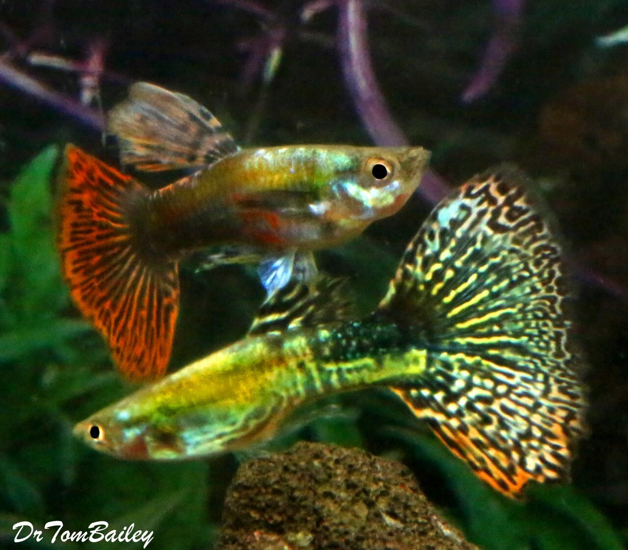 "Premium New and Rare, UniquePlus® Snakeskin Male Guppies, 1"" to 1.5"" long"