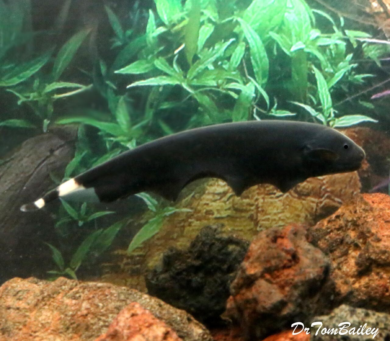 "Premium Black Ghost Knifefish, 3"" to 3.5"" long and now tank raised!!"