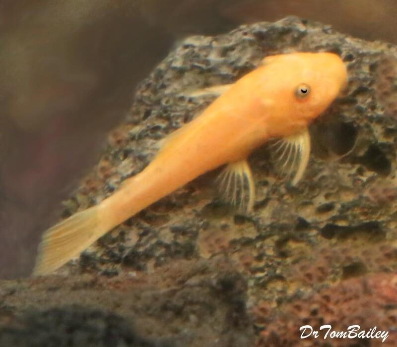 Premium New and Rare, Super Red Bushynose Pleco, Size: 1
