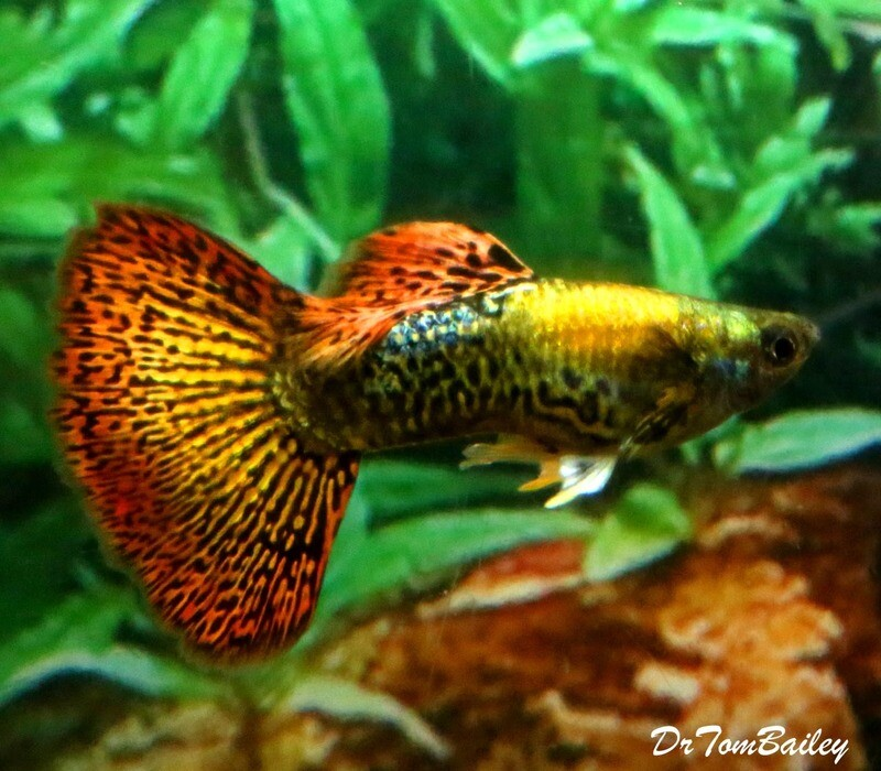 Premium MALE, New and Rare, Dumbo Ear, Red Dragon, Fancy Guppy, 1