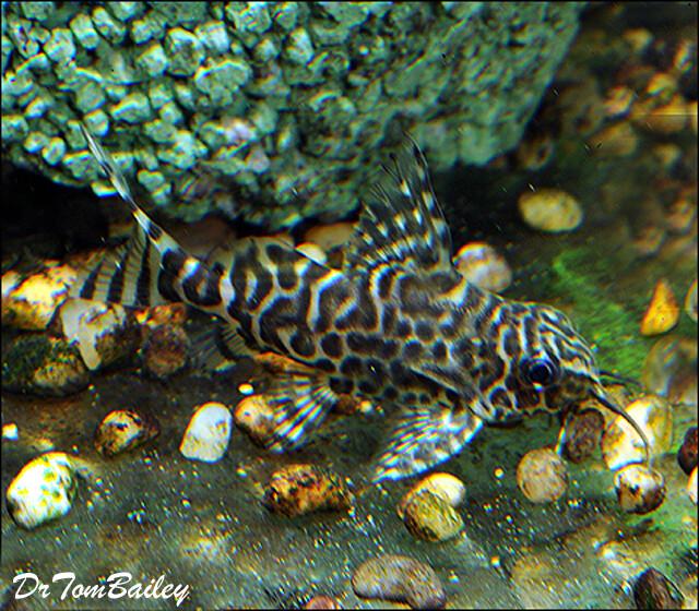 Premium Featherfin Synodontis Eupterus,  Squeaker Catfish, 1