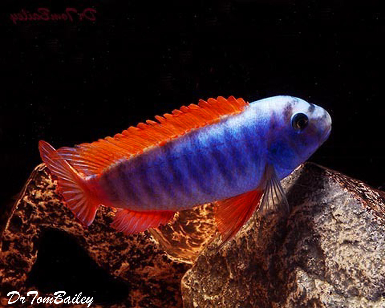 "Premium Labeotropheus Trewavasae Mbuna Cichlid from Lake Malawi, 2"" to 2.5"" long"