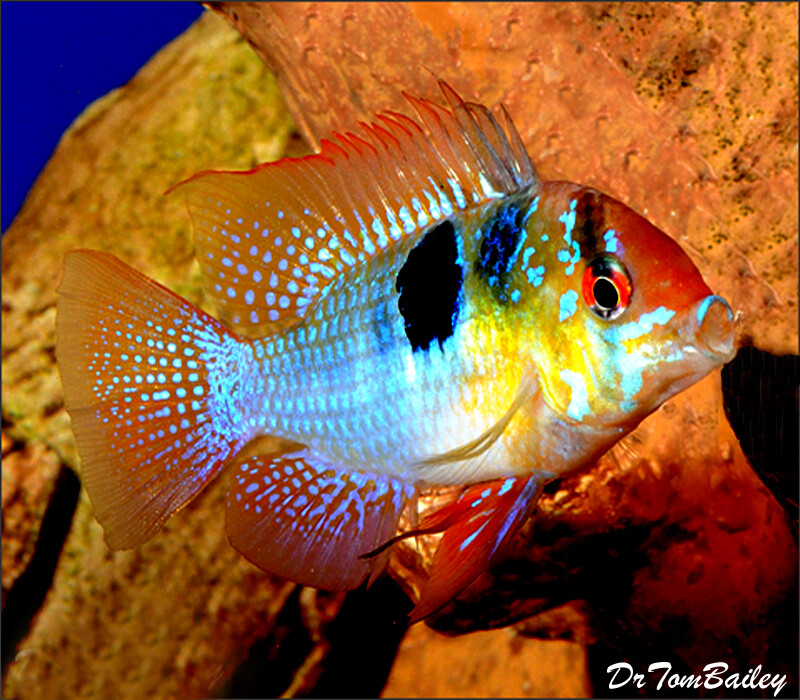 "Premium German Blue Ram Cichlid, 1"" to 1.5"" long"