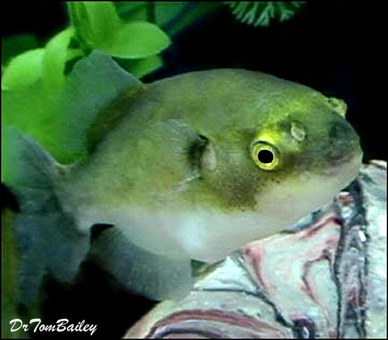 Premium New Rare, Freshwater Avocado Pufferfish, 1