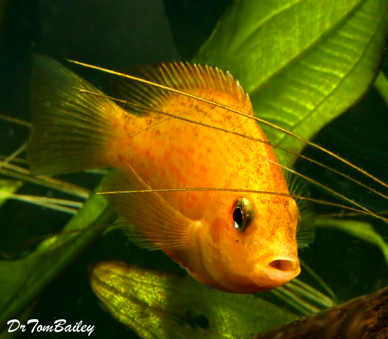 Premium Orange Chromide Cichlid, 1.5