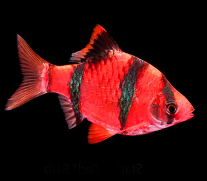 "Premium Starfire Very-Red GloFish Tiger Barb, 1"" to 1.5"" long"