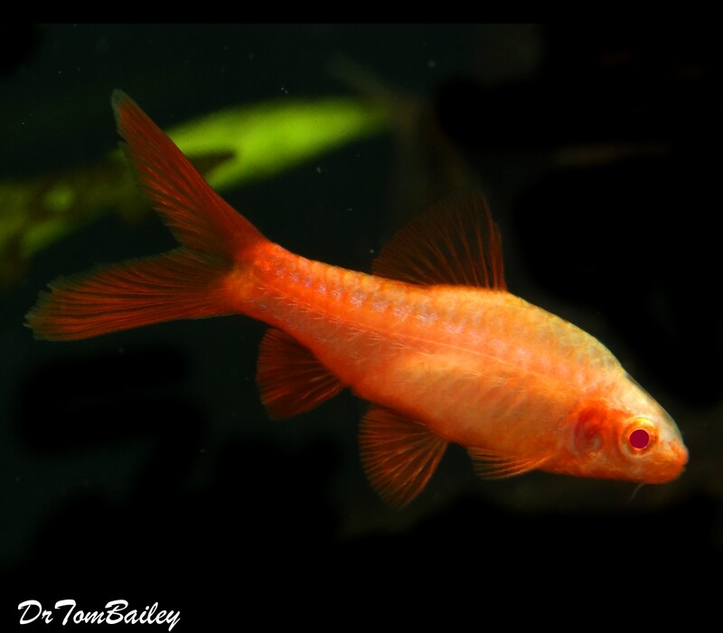 Premium Rare New, Red Eye Veiltail Cherry Barb , 1