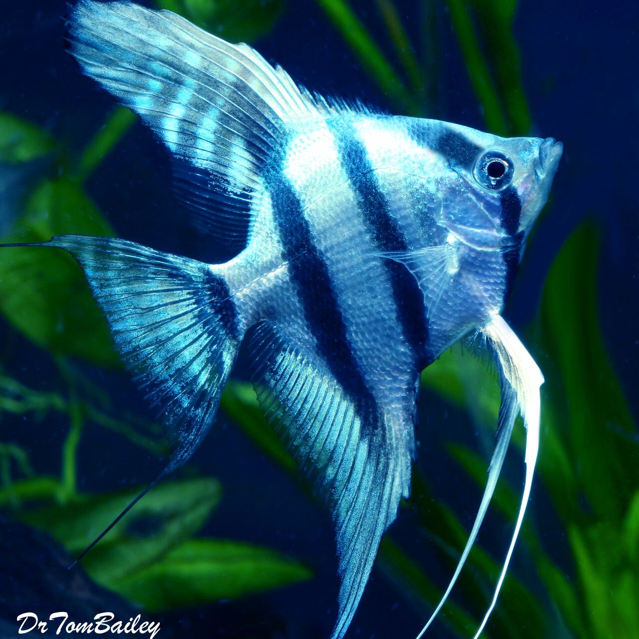 "Premium Rare WYSIWYG Blue Cobalt Zebra Angelfish, 3.5"" to 4"" tall in our tank G-12."