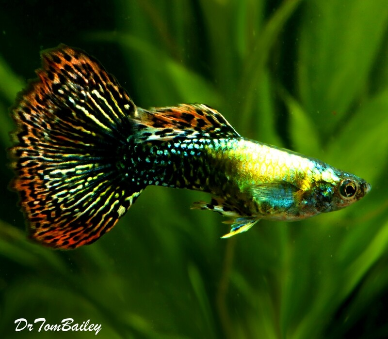 Premium MALE Fancy Guppies in Assorted Colors, 1