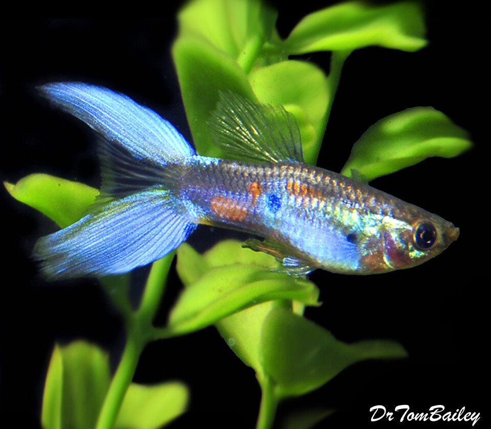 "Premium Male Assorted Lyretail Guppies, 1"" to 1.5"" long"