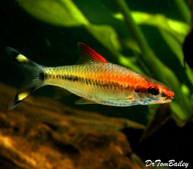 Premium, Rare and New, Golden Denison's Red Roseline Torpedo Barb, 2
