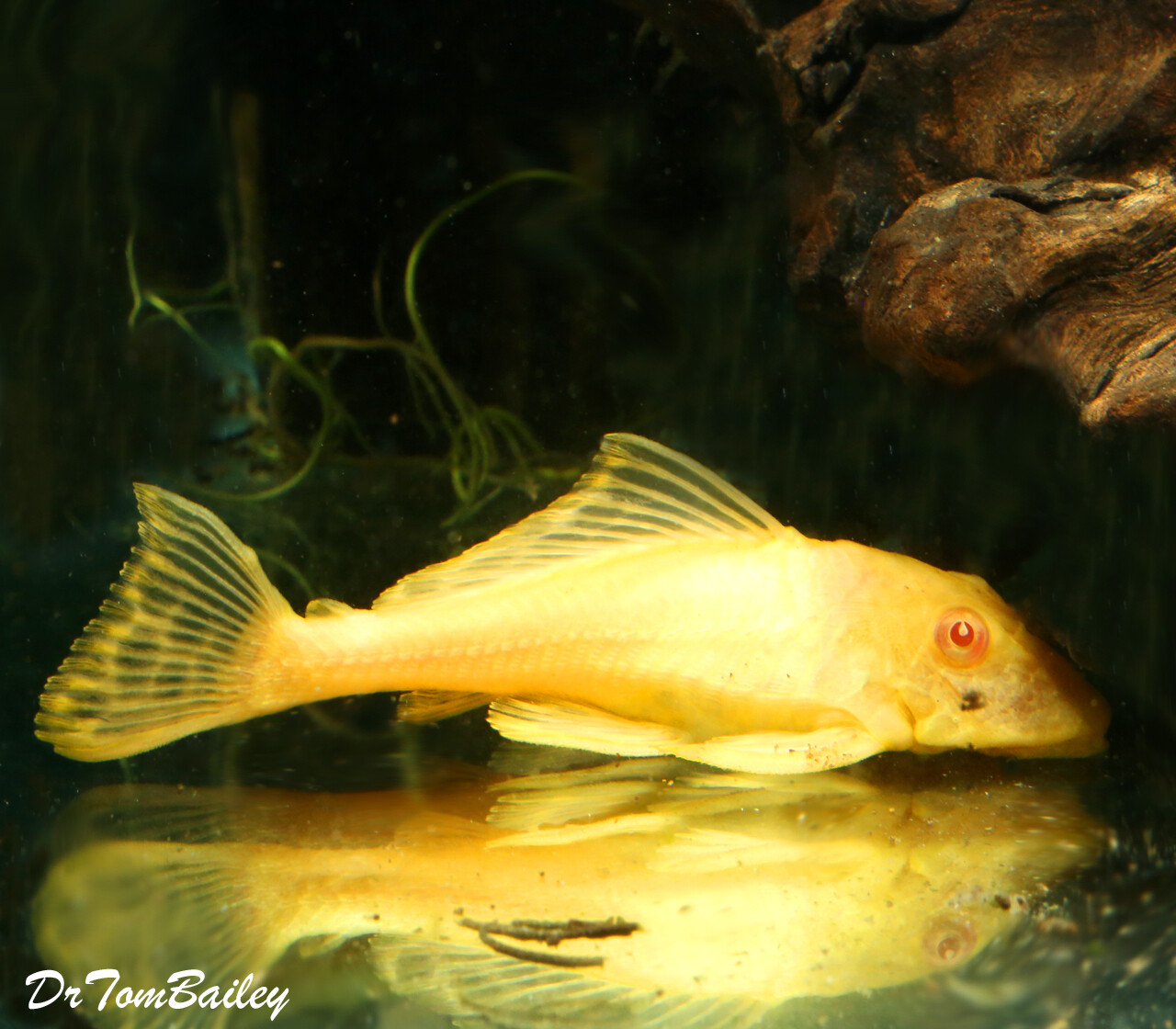 """Premium Rare New, Red-Eye Gold Marble SF Pleco, 3"""" to 3.5"""" long"""