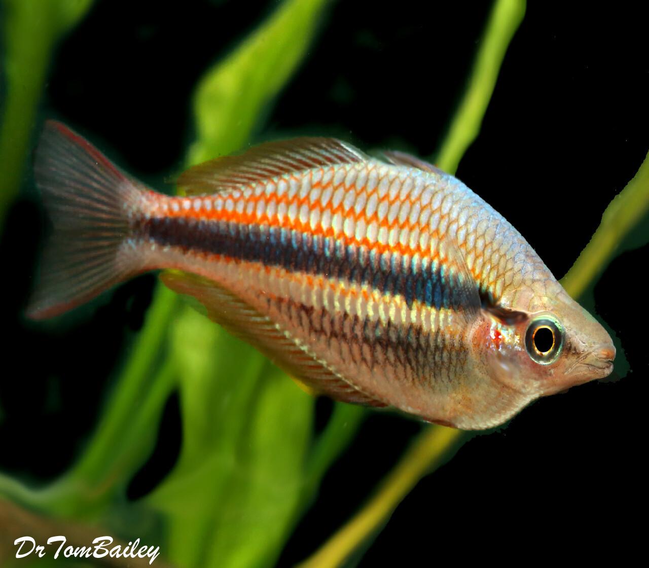 """Premium Rare Blyth River Trifasciata Rainbowfish, 2"""" to 2.5"""" long"""
