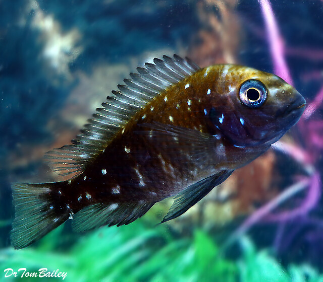 "Premium Lake Tanganyika Spotted Tropheus Duboisi Cichlid, 2"" to 2.5"" long, really cute!"
