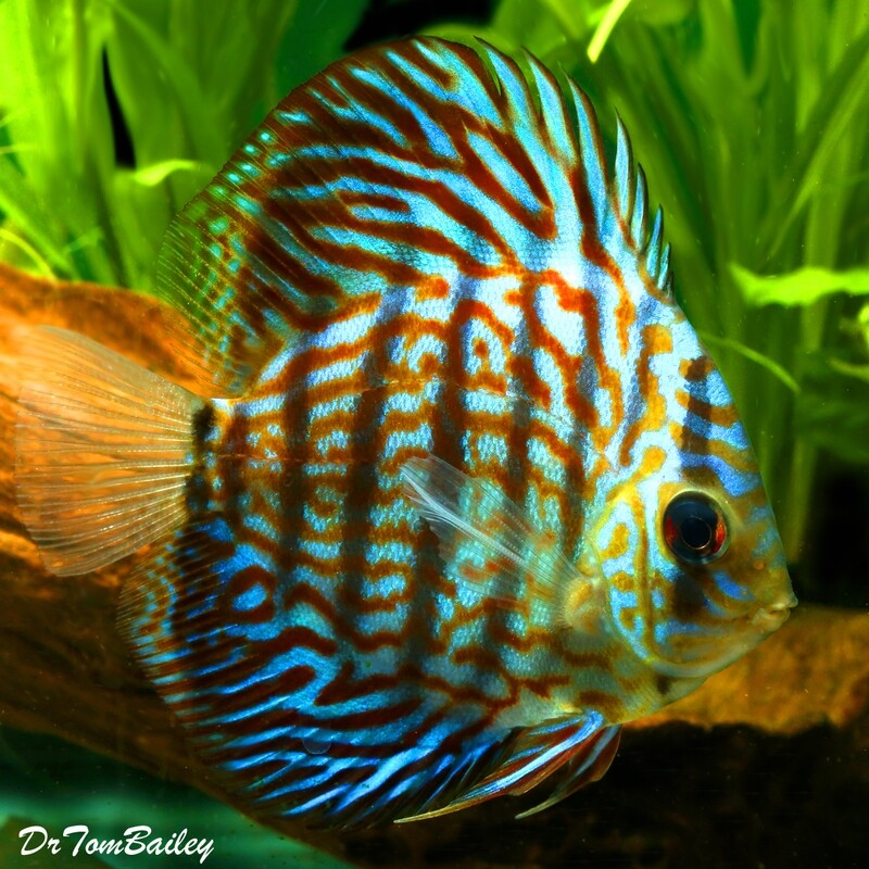 Premium Rare, WYSIWYG Royal Purple Discus, 4