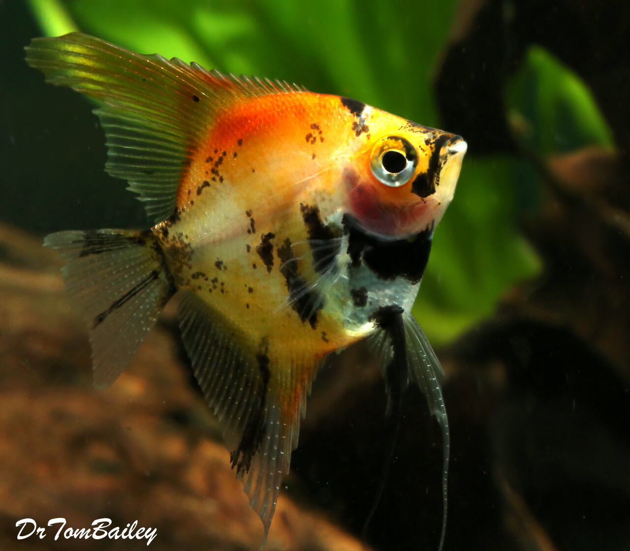 "Premium New Rare, WYSIWYG, Red Koi Angelfish, 2.5"" to 3"" tall, in our Tank G-12"