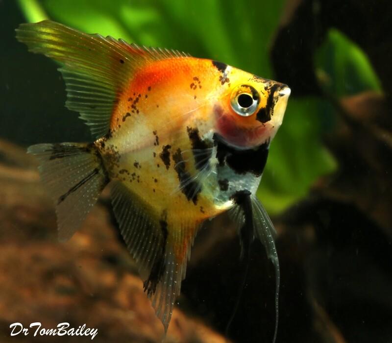 Premium New Rare, WYSIWYG, Red Koi Angelfish, 2.5