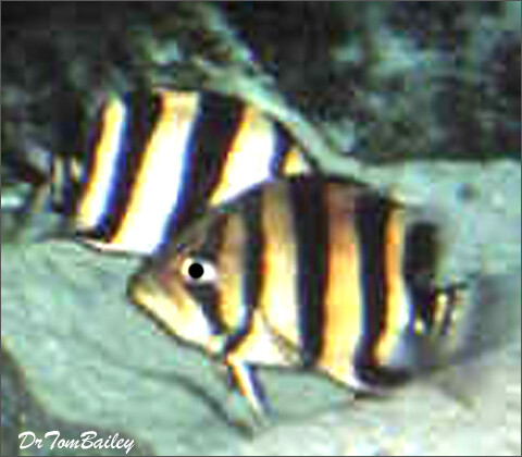 """Premium Wild Indonesian Gold Tiger Datnioides, 2"""" to 2.5"""" long"""