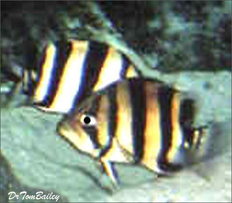 Premium Wild Indonesian Gold Tiger Datnioides, 2