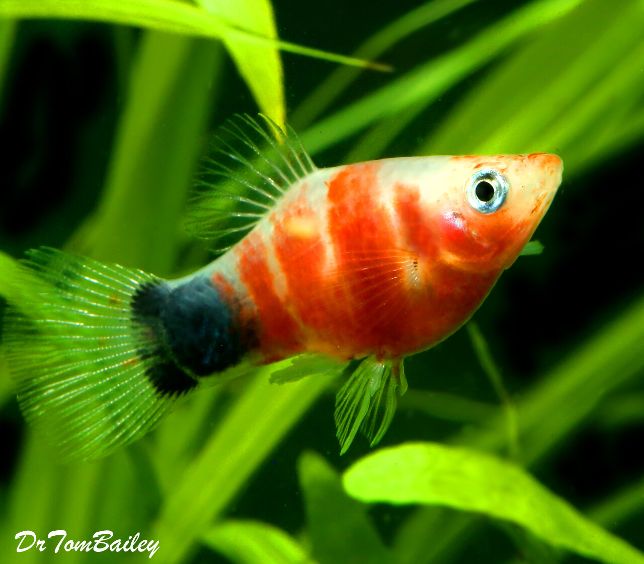 "Premium Rare and New, Tiger Ruby Mickey Mouse Platy, 1"" to 1.5"" long"