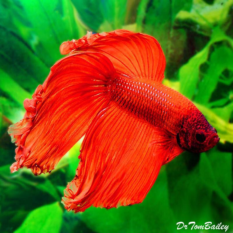 "Premium MALE Red Betta Fish, 2.5"" to 3"" long"