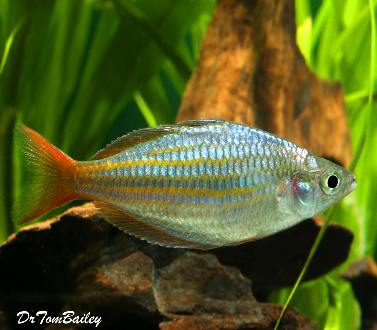 "Premium, New and Rare, Red Laser Dwarf Rainbowfish, 1.5"" to 2"" long"